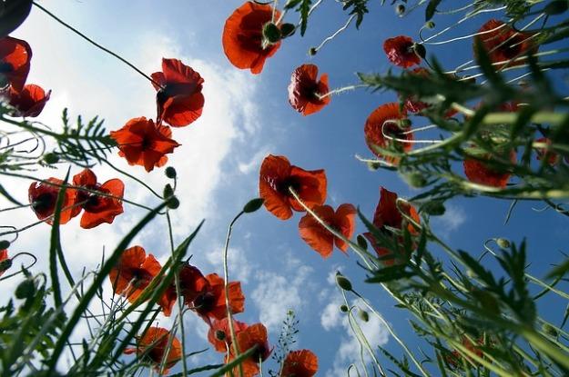 poppy-750938_640