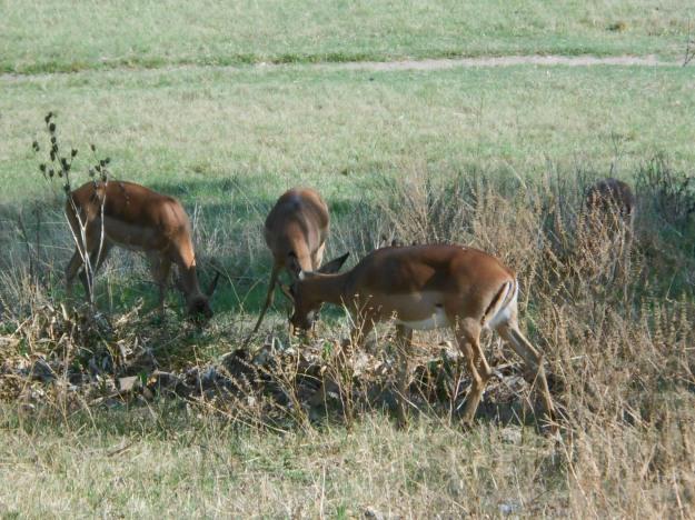 Buck grazing across the fence